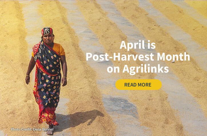 Woman walks through post harvest rice.