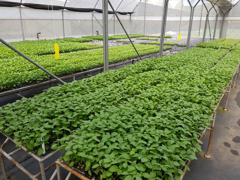 Commercial production of apical cuttings of potato, Stokman Rozen Kenya (Photo Credit: Monica L. Parker)